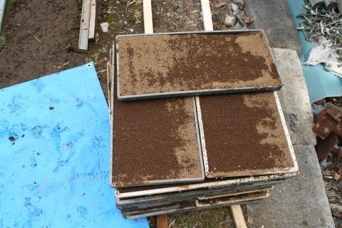 土をかぶせた種箱