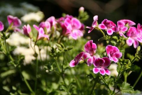 テラスのお花
