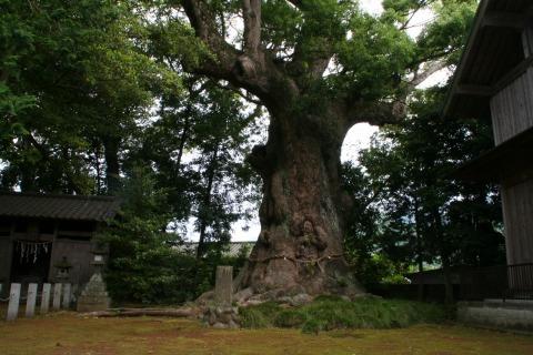 天然記念物の巨木