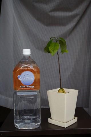 鉢に植えて1ヶ月後のアボカド